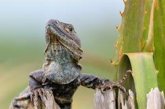 игуана Стоковое Изображение