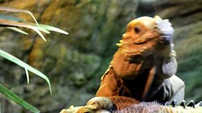 Игуана Cyclura Cornuta носорога взбираясь на другой задней части одного ` s видеоматериал