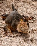 игуана galapagos пляжа Стоковые Фото