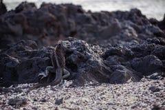 игуана galapagos стоковая фотография