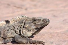 игуана lizard2 Стоковое Фото