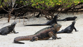 Игуаны Галапагос морские на пляже Стоковые Изображения RF