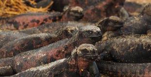 Игуаны земли загорая в острове Галапагос Стоковая Фотография