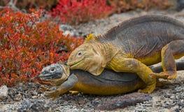 2 игуаны земли воюют друг с другом острова galapagos океан pacific эквадор Стоковые Изображения RF