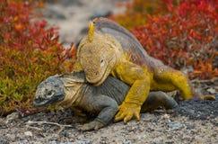2 игуаны земли воюют друг с другом острова galapagos океан pacific эквадор Стоковые Изображения