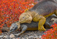 2 игуаны земли воюют друг с другом острова galapagos океан pacific эквадор Стоковые Фотографии RF
