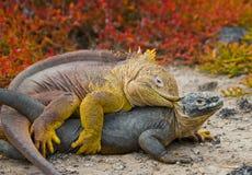 2 игуаны земли воюют друг с другом острова galapagos океан pacific эквадор Стоковые Фото