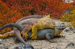 2 игуаны земли воюют друг с другом острова galapagos океан pacific эквадор Стоковое фото RF