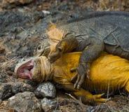 2 игуаны земли воюют друг с другом острова galapagos океан pacific эквадор Стоковое Фото