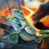 Игуаны крупного плана 2 молодые красивые маленькие красочные в терра Стоковое фото RF