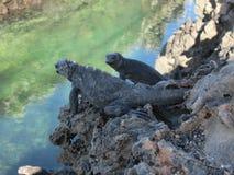 игуаны морские Стоковое Фото