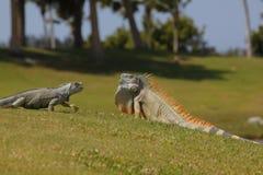 Игуаны на поле для гольфа Стоковая Фотография RF
