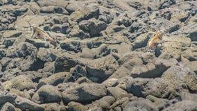 Игуаны на скалистом побережье Стоковые Изображения RF