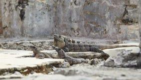 Игуаны на утесе Стоковые Фото