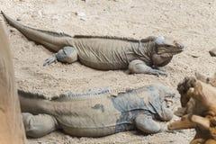 2 игуаны носорога отдыхая на песке Стоковое Фото