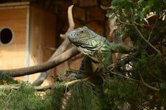 игуаны Стоковая Фотография RF