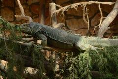 игуаны Стоковое Фото