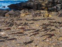 Игуаны pagos ¡ Galà морские Стоковое Изображение