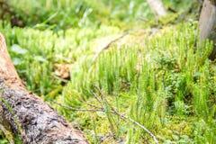 Игла сформировала заводы в глубоком лесе около старого журнала сосны стоковые изображения rf