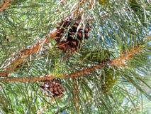 Иглы и конусы на ветвях сосны Стоковая Фотография