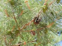 Иглы и конусы на ветвях сосны Стоковая Фотография RF