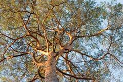Иглы и хобот ветвей сосны sylvestris Inus Стоковое фото RF