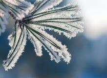 Иглы сосны в заморозке в лучах солнечного света Стоковое фото RF