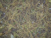 Иглы сосны на земле Стоковое Изображение RF
