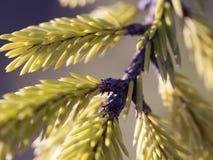 иглы spruce Стоковые Фото
