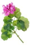 Идеально розовый гераниум цветка стоковая фотография