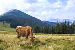 Идилличный взгляд славной коричневой коровы пася в зеленом поле fr выгона Стоковые Изображения RF