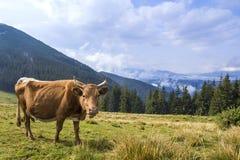 Идилличный взгляд славной коричневой коровы пася в зеленом поле fr выгона Стоковые Фото