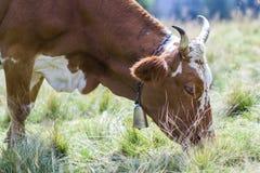 Идилличный взгляд славной коричневой коровы пася в зеленом поле fr выгона Стоковое Фото