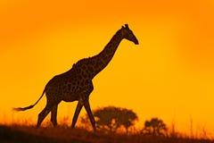 Идилличный силуэт жирафа с светом захода солнца вечера оранжевым, Ботсваной, Африкой Животное в среду обитания природы, с деревья Стоковые Фотографии RF