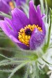 Идиллия сада весной, макрос сняла pasqueflower стоковое фото