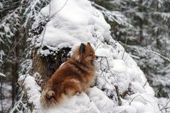 Идите в древесины зимы с собакой шпица Стоковые Фотографии RF