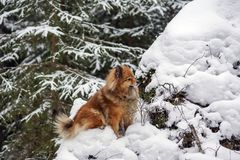 Идите в древесины зимы с собакой шпица Стоковое Изображение RF