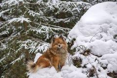 Идите в древесины зимы с собакой шпица Стоковая Фотография