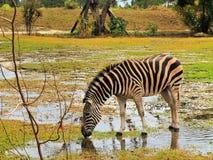 идите дождь зебра Стоковое Изображение RF