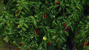 Идите дождь падать на перцы на лозе в саде сток-видео