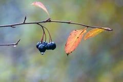 Идите дождь падения на ягодах черной золы горы в последней осени Стоковое Изображение RF