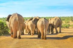 Идти африканских слонов Стоковое фото RF