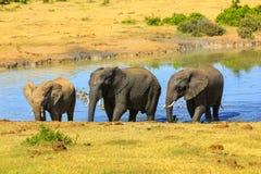 Идти африканских слонов Стоковые Изображения RF