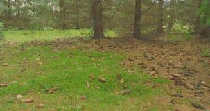 Идти в древесины сосны Steadicam ландшафта природы леса видеоматериал