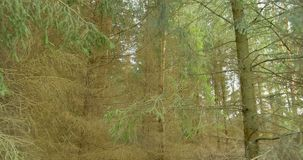 Идти в древесины сосны Steadicam ландшафта природы леса сток-видео