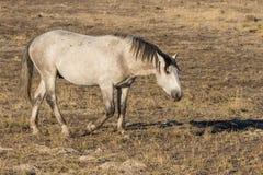 Идти жеребца дикой лошади Стоковое фото RF