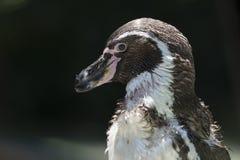 Идти пингвина Гумбольдта внешний Стоковая Фотография RF