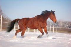 идти рысью лошади залива Стоковые Изображения RF