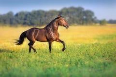 Идти рысью лошади залива стоковое изображение rf