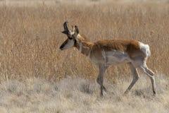 Идти самца оленя антилопы Pronghorn Стоковые Фотографии RF